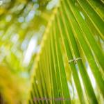 8-Eheringe-auf-Palmenblatt-Seychellen